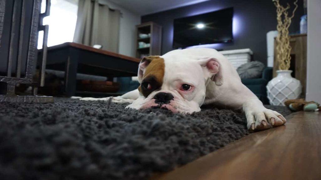 Lazy Bulldog